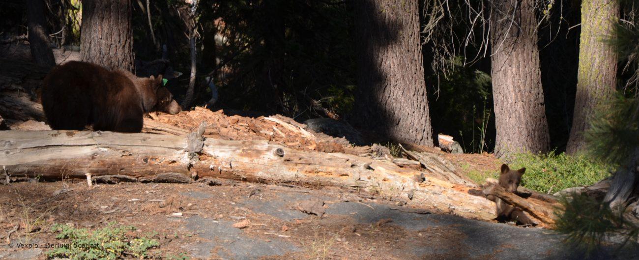 Mamma orsa e cucciolo al Sequoia N. P.