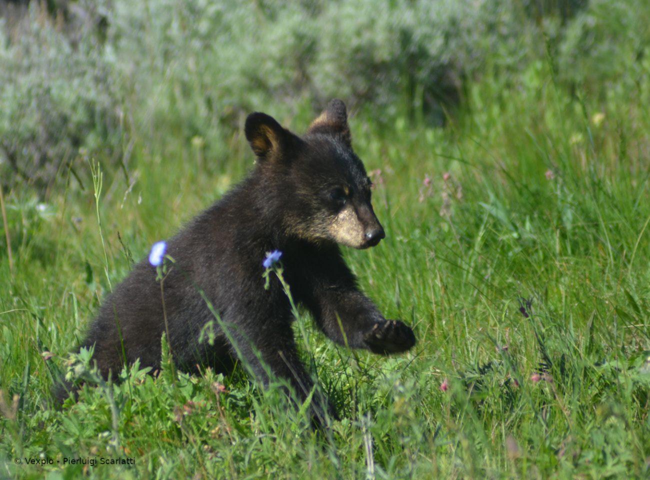 Cucciolo di orso a Yellowstone