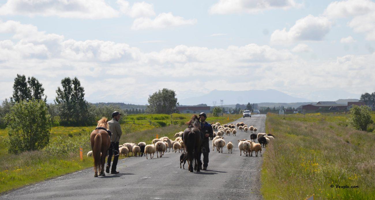 Animali in strada in Islanda