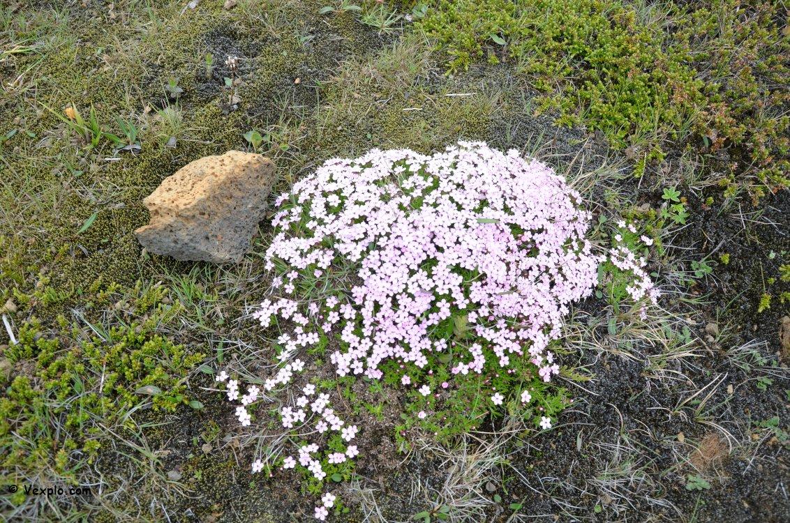 Fiori sul sentiero del sentiero Fimmvðuhàls