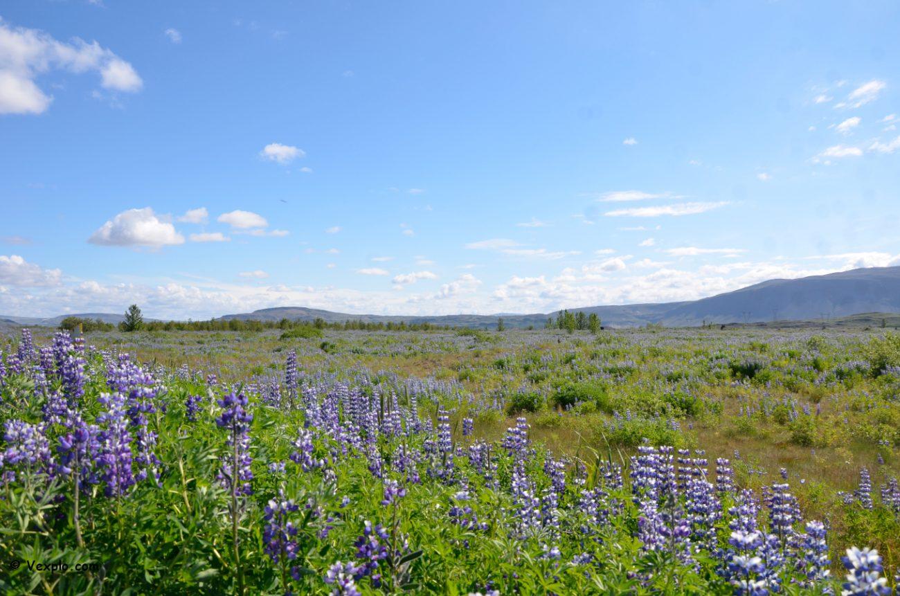 Lupini in Islanda