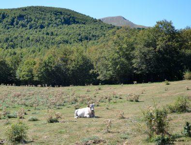 Bovino nel Piano di Jannace (Pollino)