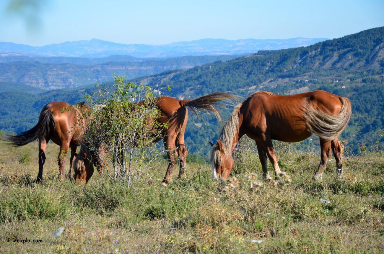 Cavalli al pascolo a nord del Colle dell'Impisio