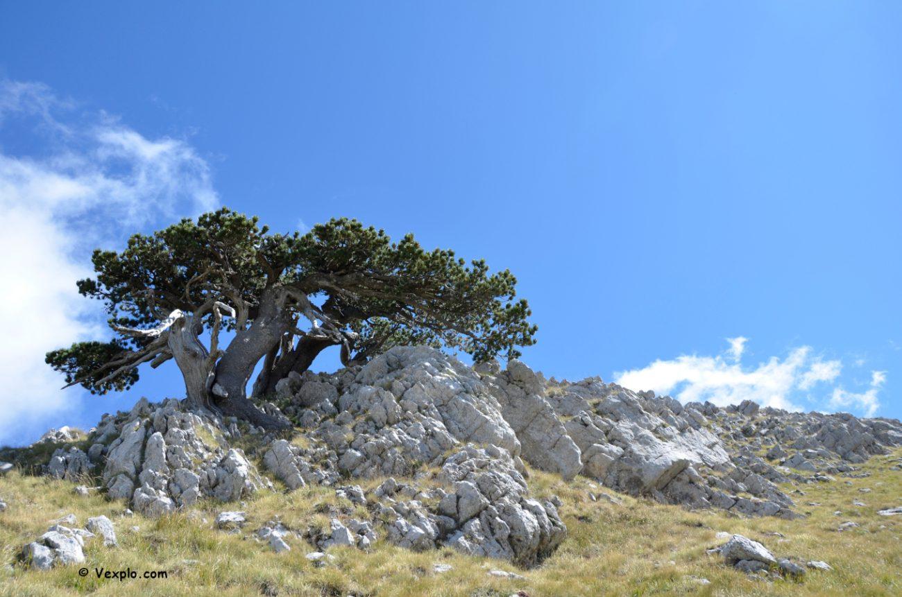 Pino loricato sul Monte Pollino