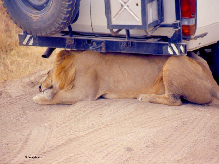 Viaggio in Tanzania. Leone sotto la jeep.